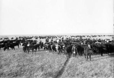 sss prairies cattle