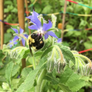 A bumble bee feasting on borage nectar.