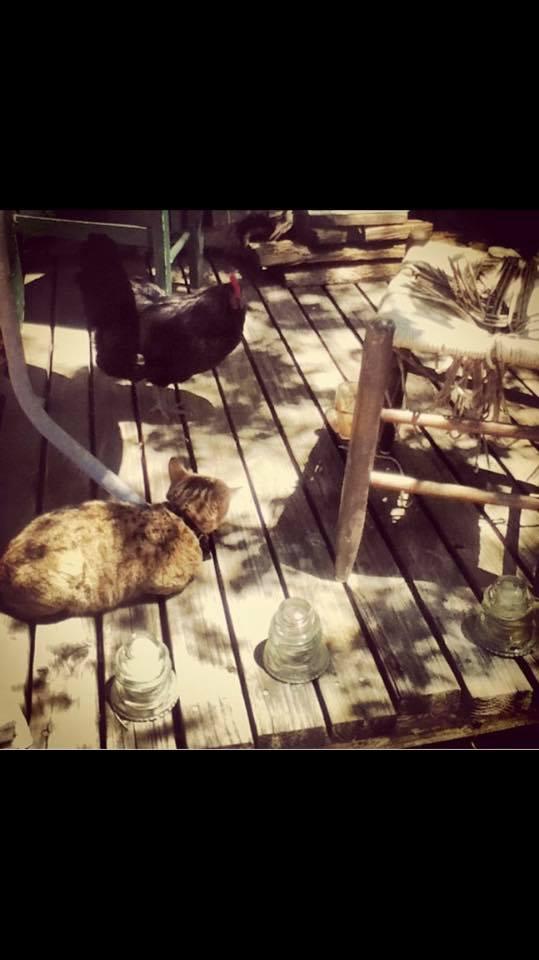 chiecken cat