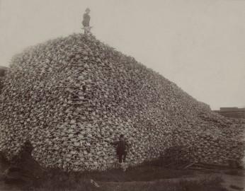 buffalo killing